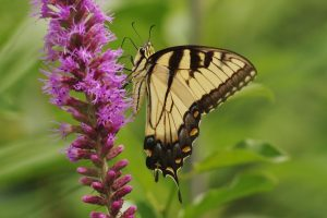 Photo: Linda Walker Tiger Swallowtails overwinter in their chrysalises.