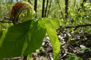 Jack in the Pulpit, quintessential woodland plant