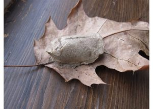 Luna Moth Cocoon Jack Gibson