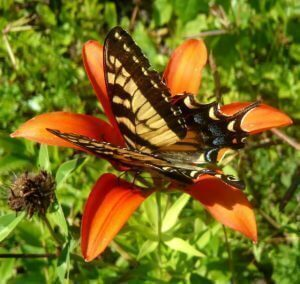 Tiger Swallowtail Wood Lily