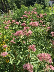 Splendor of Rose/Swamp Milkweed (Asclepias incarnata)