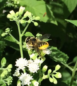 Leaf-cutter bee on White Snakeroot with a tiny Hover Fly to the right
