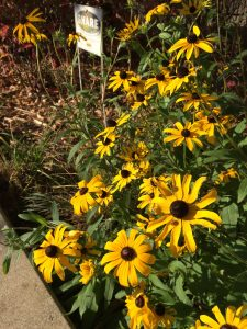 Oak Park Main Library's Pocket Prairie in the fall.  They added a S.H.A.R.E. sign, which stands for Simply Have Areas Reserved for the Environment from the Pollinator Partnership