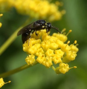 Yellow-faced Bee on Golden Alexander, a Cavity Nester