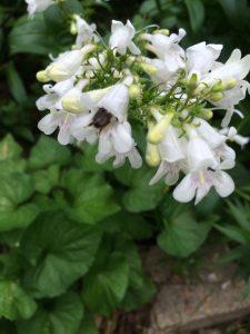 Mining bee in the Penstemon flower