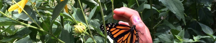 Child helps a Monarch onto a branch