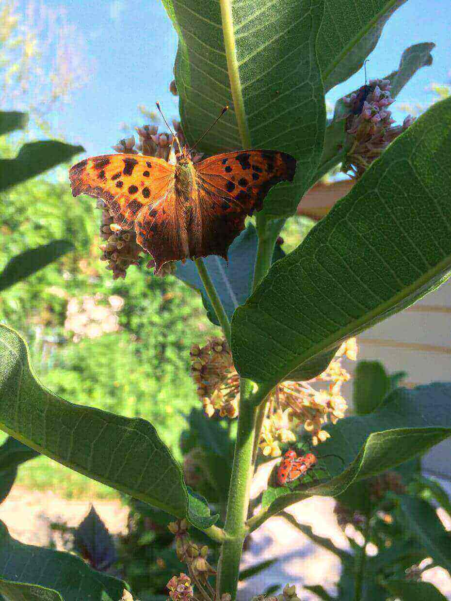 From This Presentation, The General Gardener Will Learn How To Create Habitat  Gardens For Some Of The Areau0027s Butterflies Who Need ...