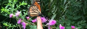 Monarch on child's finger