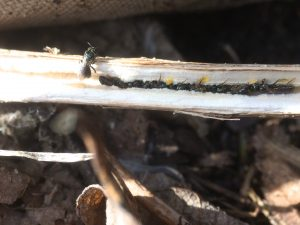 Line of overwintering small Carpenter Bees in a White Snakeroot stem