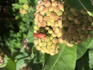 Milkweed Borer Beetle