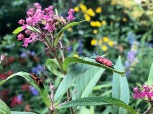Milkweed beetle on Rose Milkweed